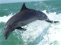 Clearwater FL Dolphin