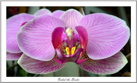 Orchid II.