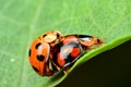 Lady bug on mating