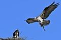 Bringing home dinner - Ospreys