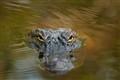 Peering Gator