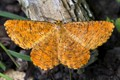 Male Orange Moth (Angerona prunaria)