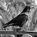 canarian raven