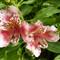 P1010737 Peruvian Lily