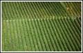 Baden Vineyard