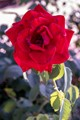 Red Rose In August