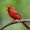 Cardinal (m) 1 Origwk1_MG_2148