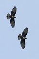 A pair of Black Baza