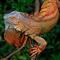 Costarican Iguana