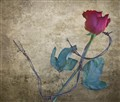 Rose & Barbed Wire