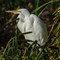 A day in the Wash: Snowy Egret