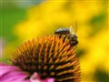 Be  on a  Rudbeckia echinacea