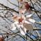 Seaforde tropical Gardens - Magnolia Grandiflora.