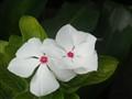 rosas pinggan