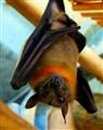 Young fruit bat