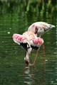 Flamingos - which is which?