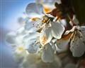 cherry-blossom white.
