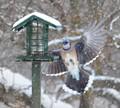 Blue Jay Landing In A Snowstorm