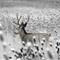 Mule Deer in Cattails