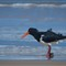 Pied Oyster Catcher (1 of 1)