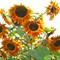 CIMG0036 Sunflowers