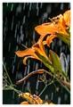 Daylilies in the rain