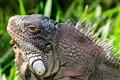 Iguana | Pantanal