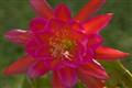 Backlit Epiphyllum