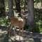 Deer_Doe-1-5