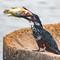 Giant Kingfisher: