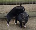 Piglet siblings at play