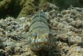Lizardfish Smile
