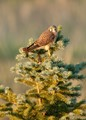 Seen in our back prairie.  The Kestrel is not that common for us.