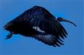 Bearded Ibis