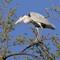 Grey Heron,Ardea cinerea,(Siva Čaplja)