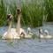 swan family (2)