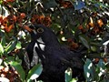Blackbird hiding in a Pyracantha bush