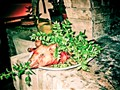 Sardinian Pig