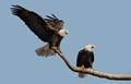 Female Bald Eagle on camera left.