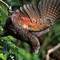 New Zealand kaka: The kaka is a New Zealand forest parrot.  Not to be confused with the kea our mountain parrot.  Or the kakapo, our large flightless parrot.