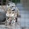 Snow Leopard - San Diego Zoo