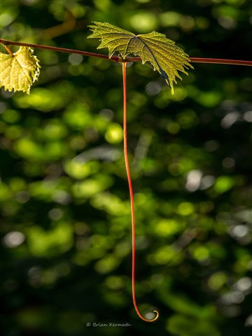 Wild muscadine grape leaves & tendril (Vitis rotundifolia - Vitaceae) in the low light of the evening