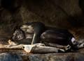 Bonobo Naptime