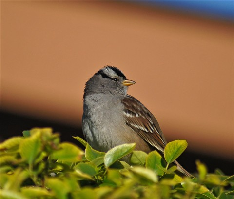 Sparrow in the morning