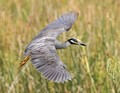 Yellow Crown Night Heron