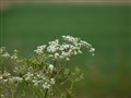 Feldblume