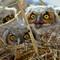 juv owls
