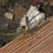 Common Darter rear