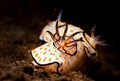 Chromodoris annulata