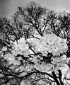 flowering oak